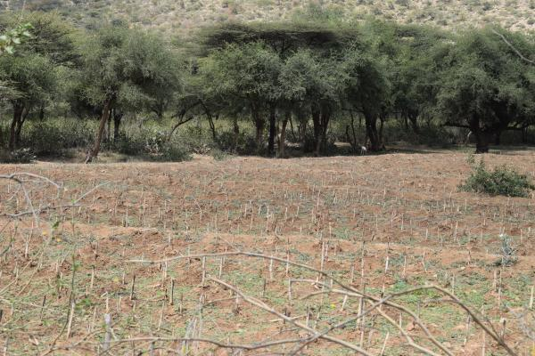 Amina Mohamed's farm filled with stumps of sorghum rather than fully-matured crops after locust invasion, Dire Dawa region, February 11, 2020