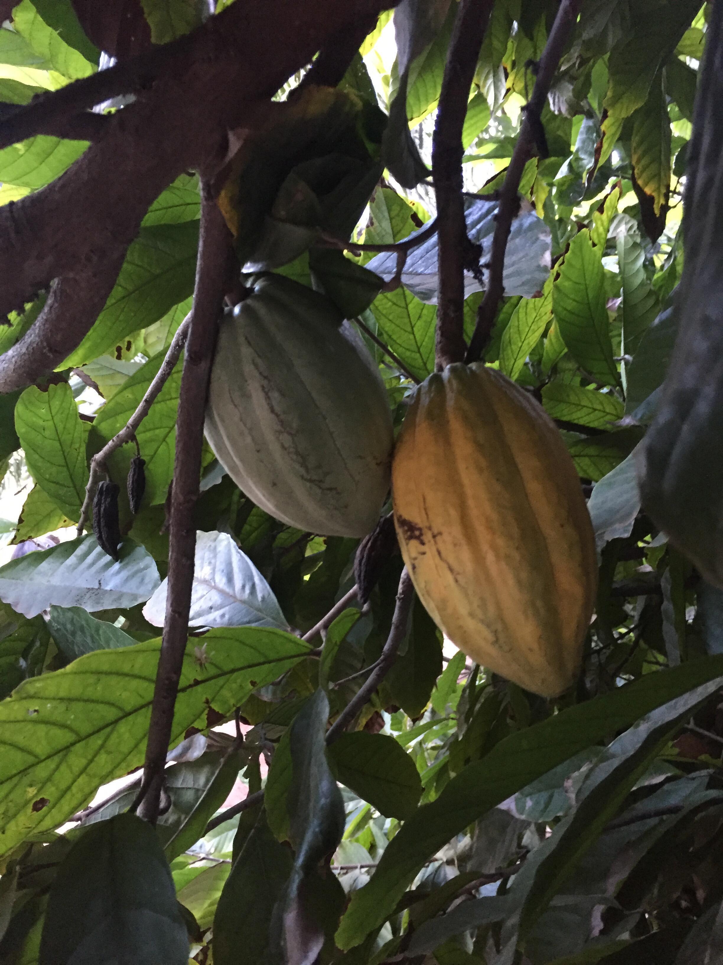 Une cabosse de cacao sur un cacaoyer.