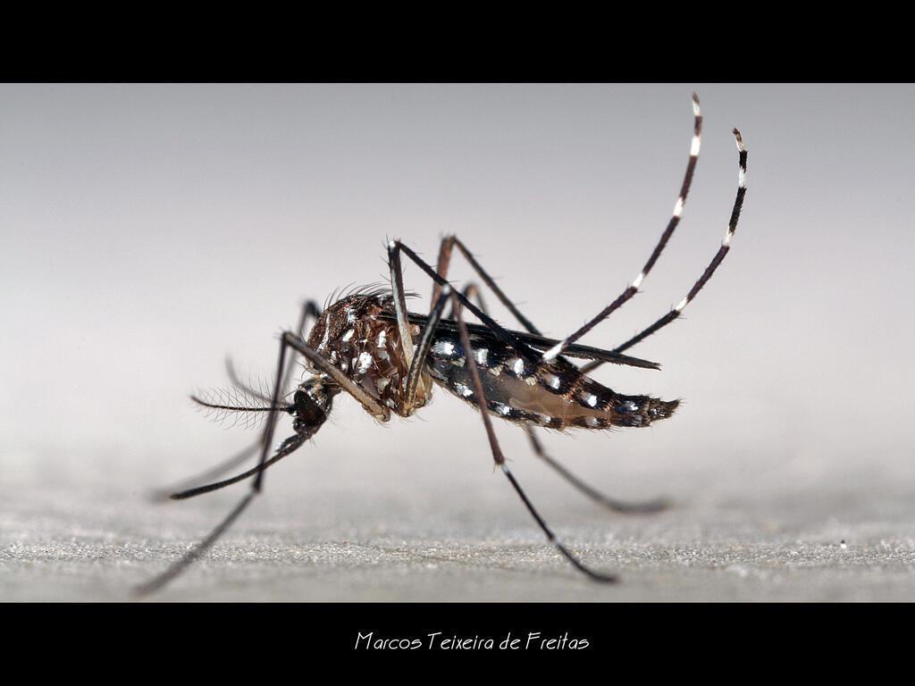 A dengue é transmitida pelo mosquito Aedes Aegypti; um grupo de pesquisadores afirma que a doença tem um alcance maior do que se imaginava.