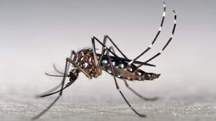 The Tiger Mosquito is characterised by its small black and black and white striped legs.