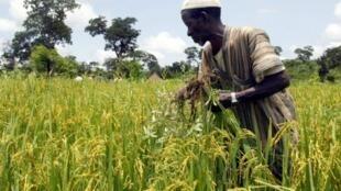 Un paysan extrait des mauvaises herbes de son champ de Nerica, à Faranah, le 6 septembre 2002.