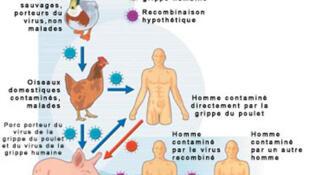 سرایت ویروس از مرغ به انسان یکطرفه اما از خوک به انسان دوطرفه است