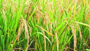 Au Bénin, une technique de culture du riz avec l'eau de pluie est testée depuis 4 ans.