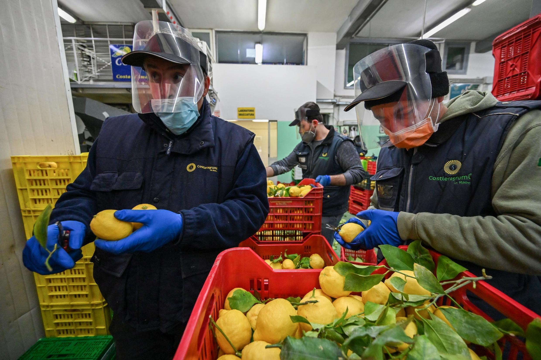 Trabalhadores preparam a colheita do limão siciliano, em Minori, ao sul de Nápolis.