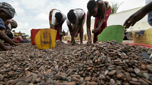 Mujeres cosechan granos de cacao en Abiyán, Costa de Marfil, el 3 de julio de 2019