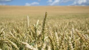 Champ de blé Russie cultures récolte agriculture matières premières