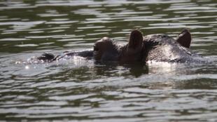 Hippopotame dont la tête dépasse de l'eau. (Photo d'illustration)