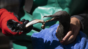 The hundreds of rescued cormorants eat more than a tonne of sardines per week