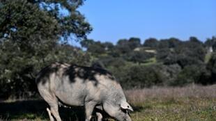 Un cerdo ibérico se alimenta en una dehesa del pueblo extremeño de Membrío (Cáceres), el 18 de eneero de 2021 al oeste de España