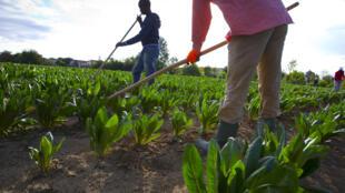 Au sud de l'Italie, dans les champs de fruits et légumes, impossible de se passer de main-d'oeuvre étrangère (photo d'illustration).