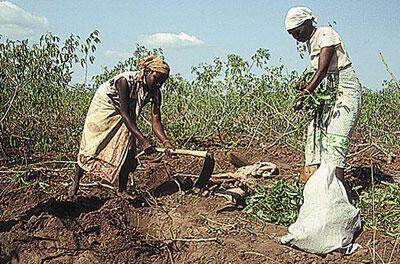 Deux agricultrices récoltent du manioc dans un champ.
