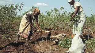 Deux femmes agricultrices récoltent du manioc dans un champ.