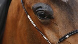 По мнению следователей, из 500 заявленных случаев травмирования лошадей, лишь 84 могут считаться делом рук человека.