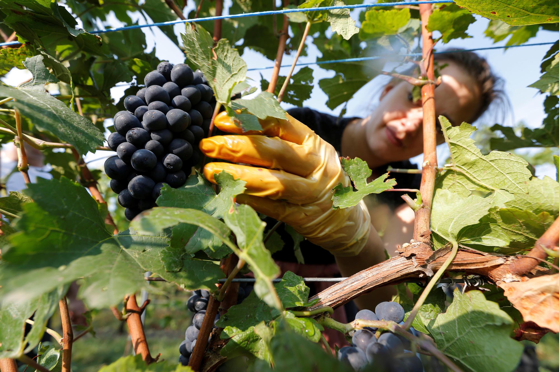 Сбор винограда в Эльзасе, 28 августа 2018.