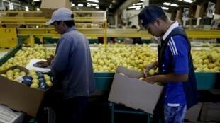阿根廷图库曼省农民采摘新鲜柠檬