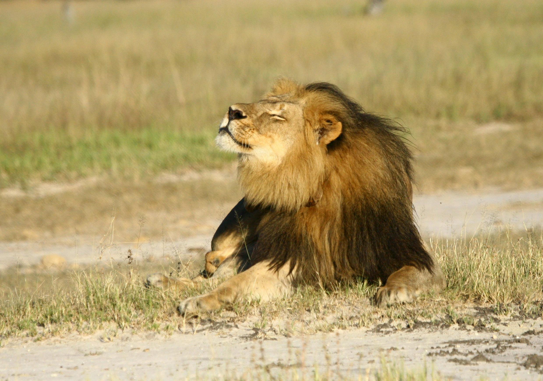 Simba katika Hifadhi ya Taifa