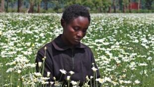 Champs de pyrèthre, une plante qui pousse dans le nord du Rwanda et qui sert à faire de l'insecticide naturel.