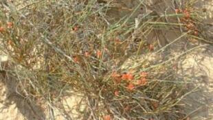 Cây Ma hoàng (Ephedra)