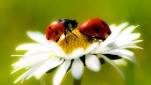 Joaninhas ajudam a combater pragas em jardins
