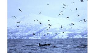 Des orques nagent dans les eaux du fjord Reisafjorden, près de la ville nord-norvégienne de Tromso, dans le cercle arctique