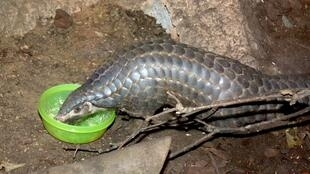 Chinese pangolin 中国 穿山甲