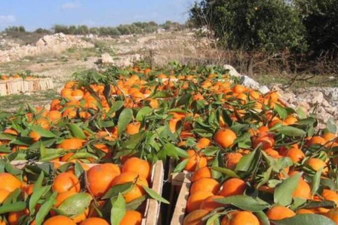 Safra de laranja tem queda histórica no Brasil