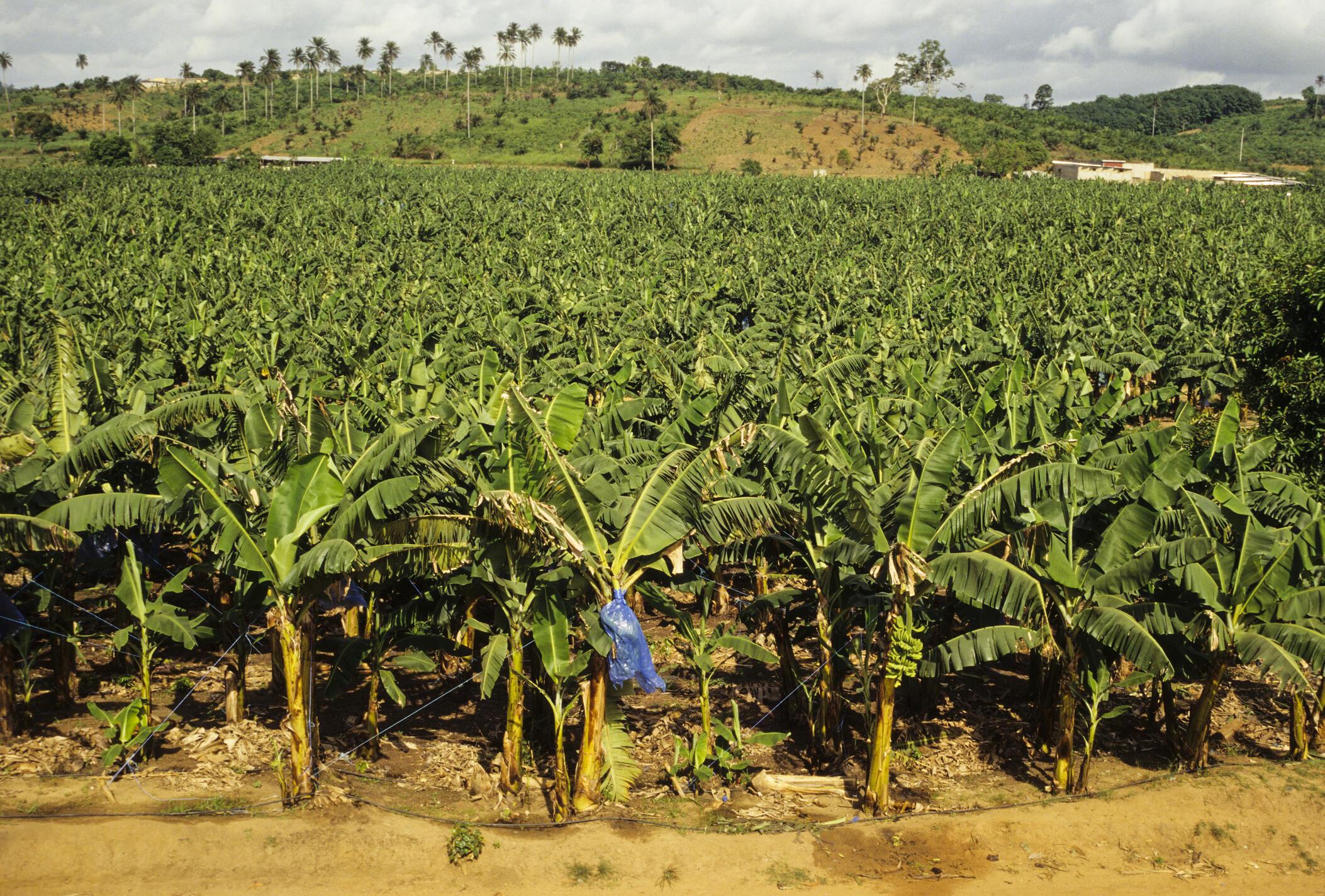 Plantation de bananiers en Côte d'Ivoire.