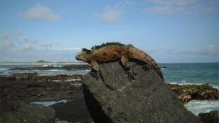Iguana de las Islas Galápagos, en Ecuador.
