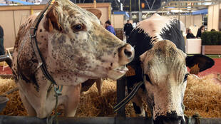 Des bovins attendent les premiers visiteurs au salon de l'agriculture qui ouvrira ses portes le 27 février 2016.