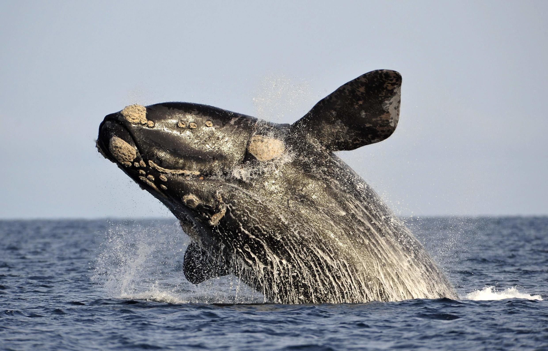 Uma baleia circula na costa da Argentina.