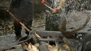 Pescadores poloneses pescam carpas, peixes que fazem parte da ceia de Natal no país.