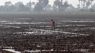Depuis l'an dernier, les autorités du Caire ont imposé une réduction des surfaces de rizières de 23%, pour économiser l'eau du Nil. Photo : Rizière dans la banlieue du Caire, le 16 mai 2018.