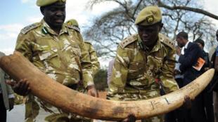 Saisie d'une cargaison d'ivoire de contrebande au Kenya, en septembre 2009.