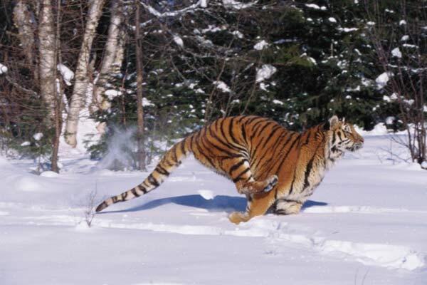 Le pelage d'hiver du tigre de Sibérie est épais et long, ce qui lui permet de résister à des températures allant jusqu'à -45 C°