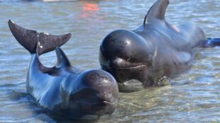 图为领航鲸资料照片