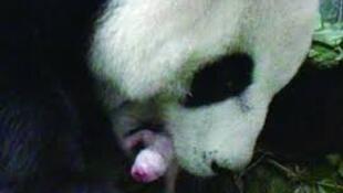 台北动物园大熊猫圆圆产下一仔确定为雌性2013年7月6日