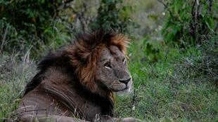 Lions have been targeted by traffickers drawn to the lucrative market for animal parts in Asia