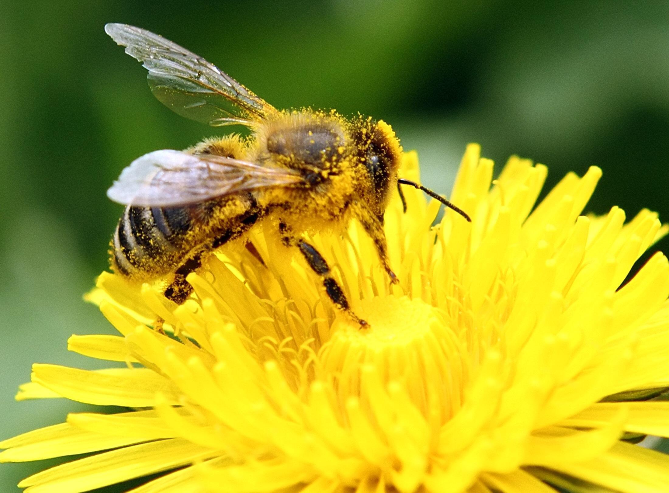 Un tiers de ce que nous mangeons dépend de la pollinisation effectuée par les abeilles.