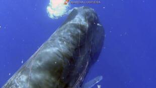 Un cachalot pris au piège dans un filet de pêche, en mer Méditerranée.