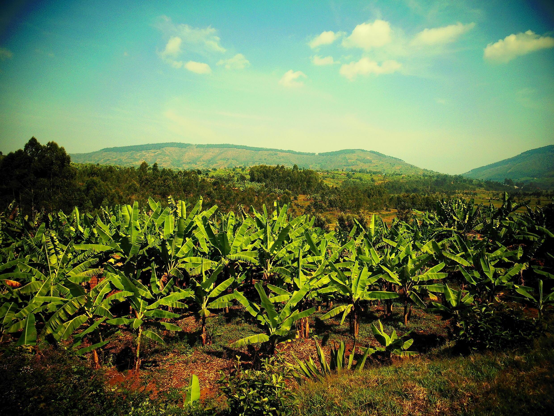 Банановые плантации в Руанде