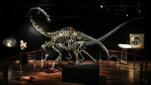 Hai bộ khung xương khủng long diplodocus (phía sau) và allosaurus trưng bày ở Drouot, ngày 6/4/ 2018, trước cuộc bán đấu giá.