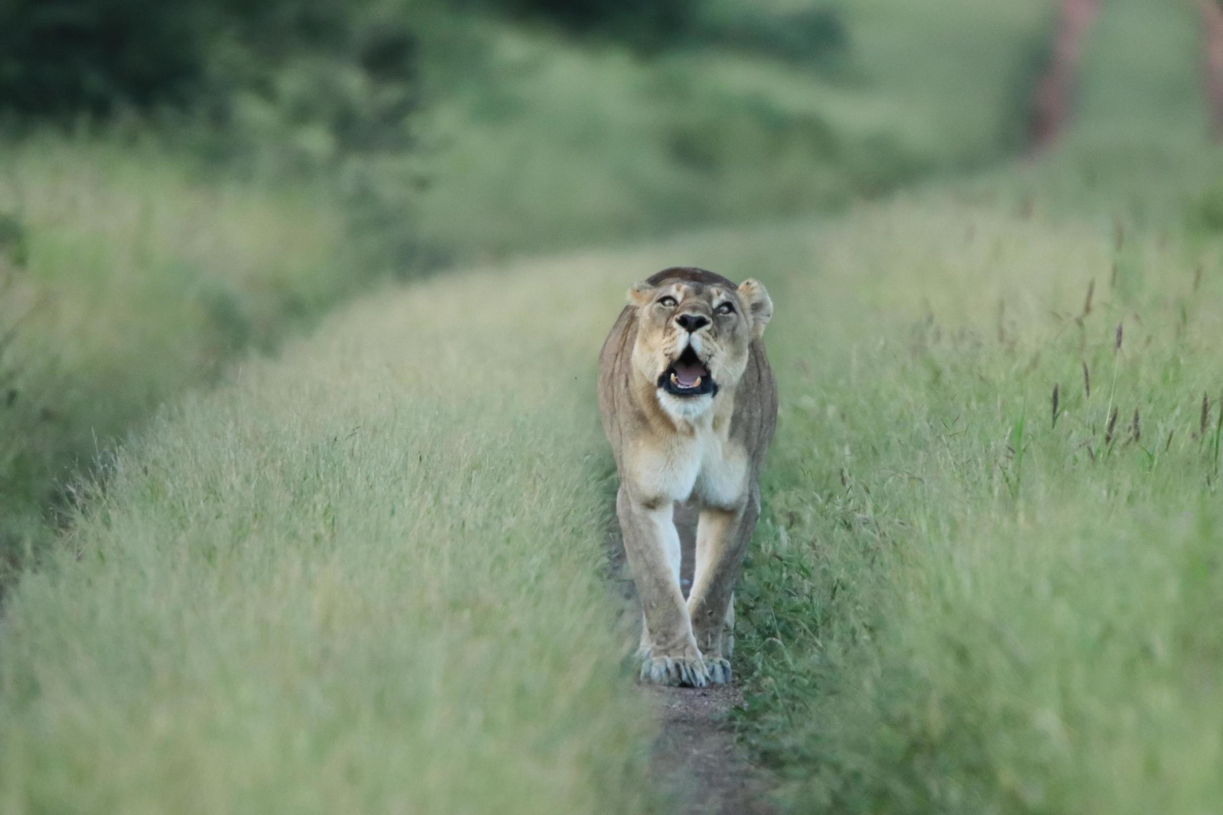 A lioness on the prowl in Zimbabwe's Bubye Valley Conservancy.