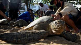 Rescuers released two dozen green sea turtles on Kuta beach near Denpasar in Bali after police arrested seven alleged poachers