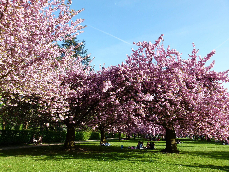 巴黎近郊索公園裡的櫻花園