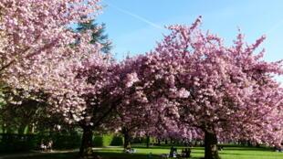 巴黎近郊索公园里的樱花园