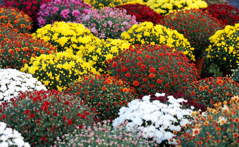 萬聖節前夕波爾多附近一家花店的菊花 2018年10月24日