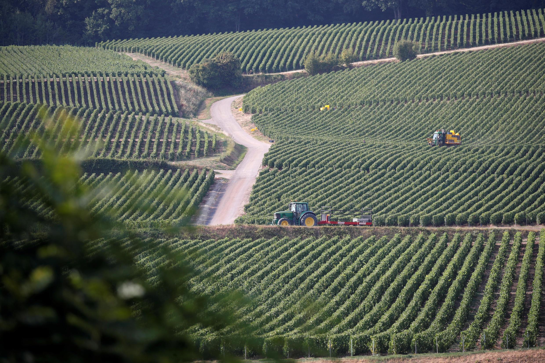 Виноградники в Шампани, 23 августа 2018.