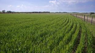 Un champ de blé dans une ferme de Ramallo, à 245 km au nord-ouest de Buenos Aires, en Argentine (image d'illustration).