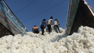 Des travailleurs indiens lors d'une récolte de coton dans la province du Gujarat, en 2014.