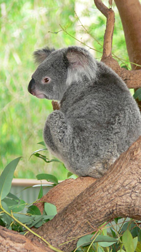 O coala australiano corre o risco de desaparecer devido ao aquecimento global